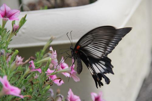 ペチュニアに蝶