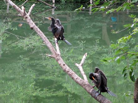 井の頭池の川鵜