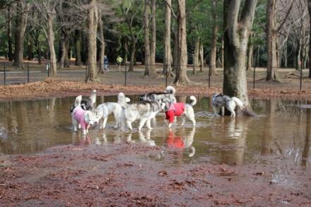 泥池で遊ぶハスキーズ