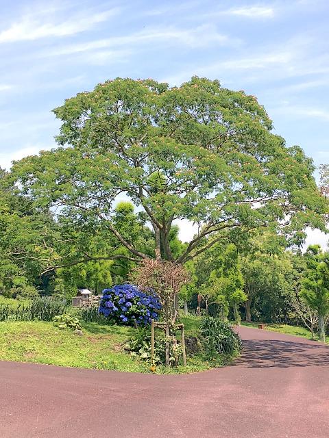 フラワーパークのねむの木