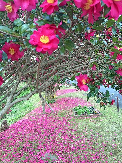 *冬の花 山茶花が満開に