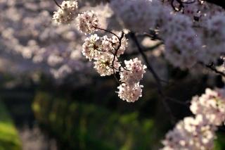 160406tetsugakunomichi005.jpg