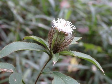 「オケラ ~白い花と魚骨状の苞葉」
