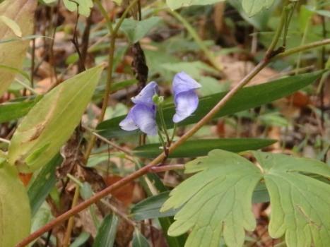 トリカブト ~烏帽子を被った花」