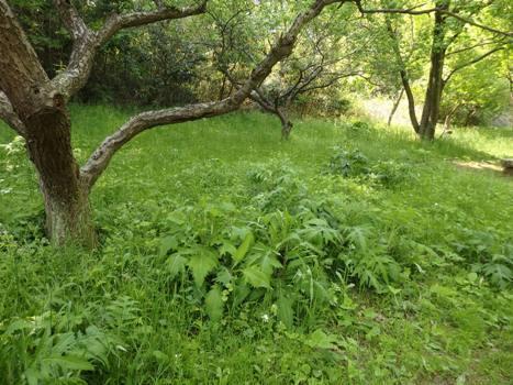 「トネアザミ ~春から秋、そして倒れる・・・(2)」