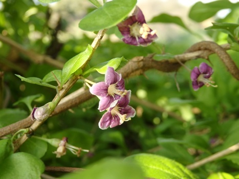 「クコ ~淡紫色の花(2)」