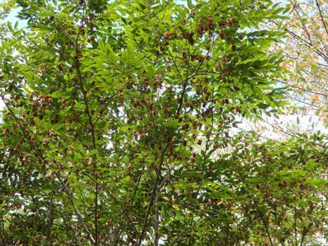 「クマシデ ~熟した果穂と種子(1)」