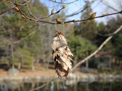 「クマシデ ~熟した果穂と種子(2)」