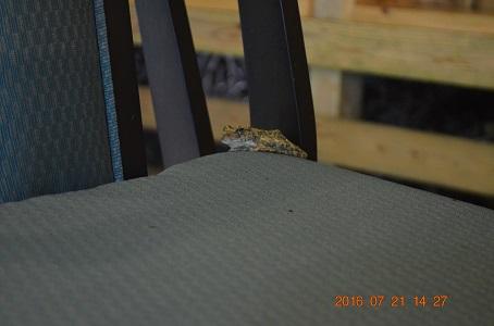 川床の河鹿蛙