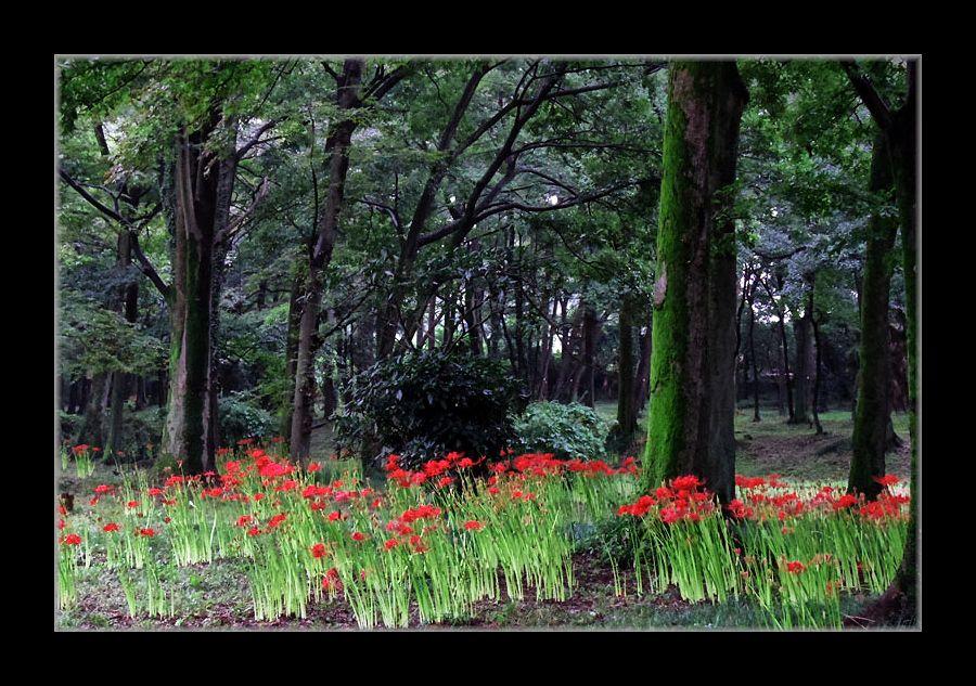 森の彼岸花
