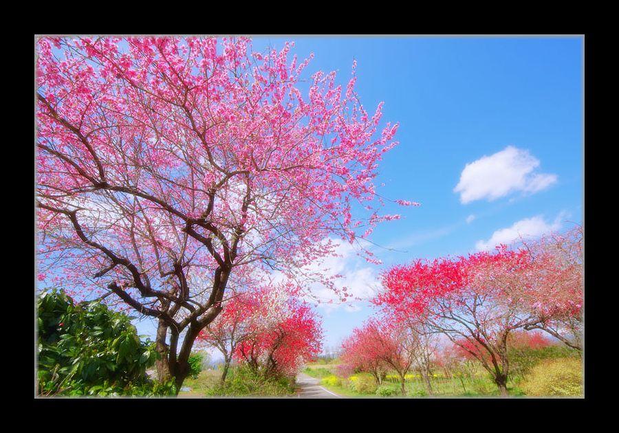 花桃と青空