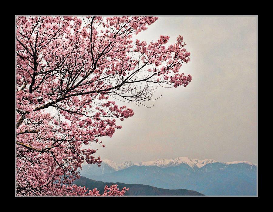 桜と南アルプス