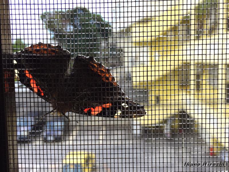 網戸に張りついた蝶