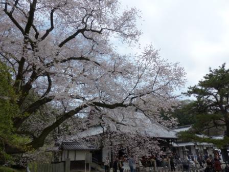 掌禅寺の金龍桜 2