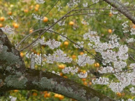 掌禅寺の金龍桜 8