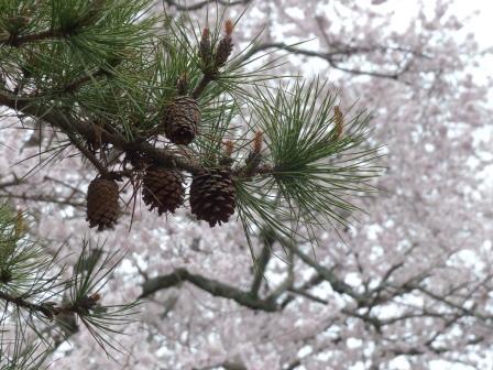 掌禅寺の金龍桜 7
