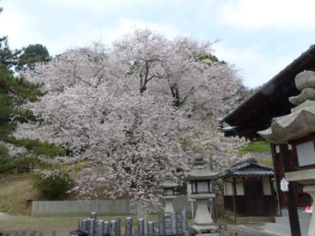 掌禅寺の金龍桜 4