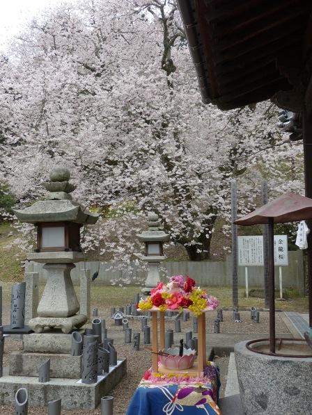 掌禅寺の金龍桜 9