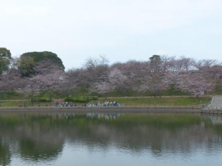藤山健康文化公園 桜 1