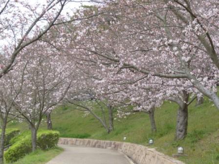 藤山健康文化公園 桜 2