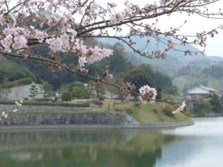 藤山健康文化公園 桜 3