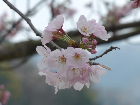 藤山健康文化公園 桜 4