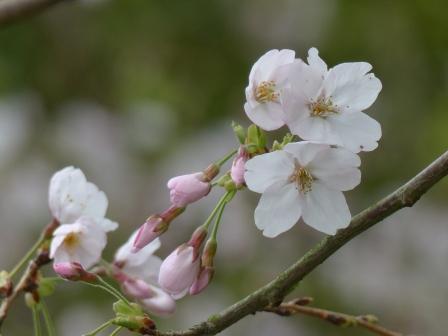 藤山健康文化公園 桜 7