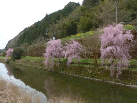 内子 桜風景 1