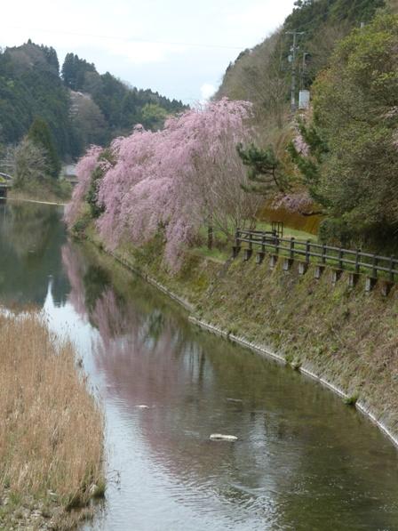 内子 桜風景 4