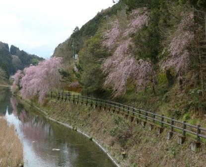内子 桜風景 3