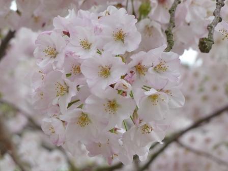 松山城 ハコダテニオイ桜
