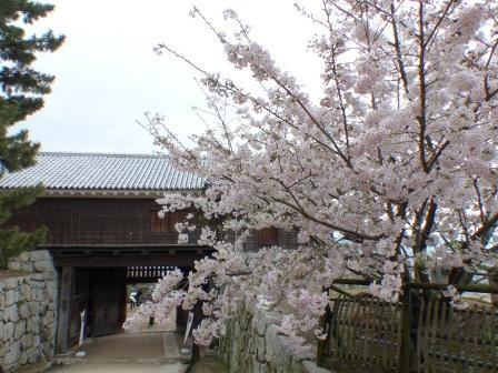 松山城 筒井門とハコダテニオイ桜