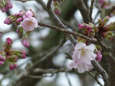 松山城 しおがま桜