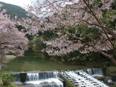 道の駅 小田の郷 せせらぎ の桜