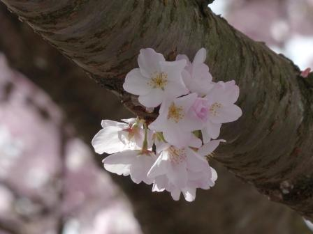 衝上断層公園 桜 1