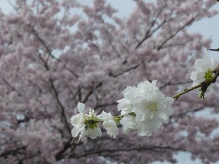 衝上断層公園 桜 & 花桃 1