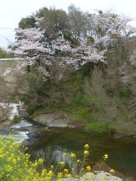 衝上断層公園 桜 & 菜の花