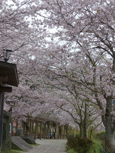衝上断層公園 桜 3