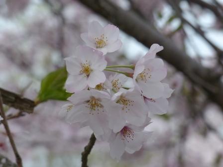 衝上断層公園 桜 4