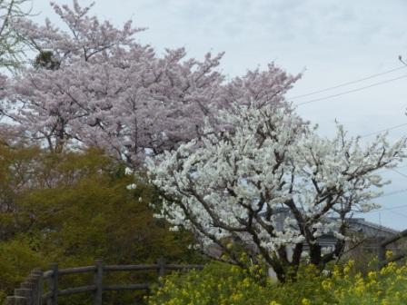 衝上断層公園 桜 & 花桃 2