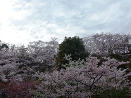 西法寺 桜