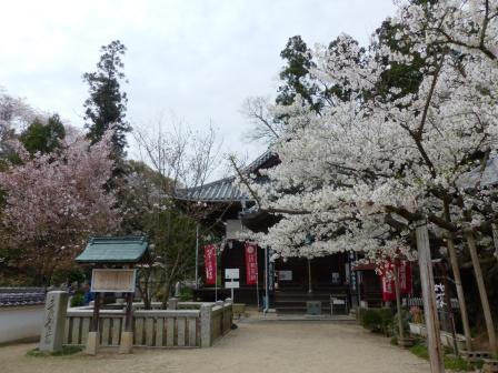 西法寺 大島桜 & 薄墨桜 など