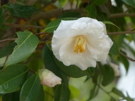 西法寺 白い椿