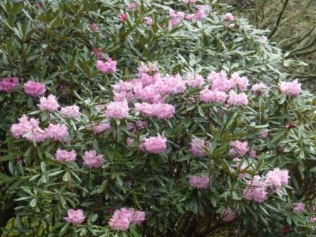石楠花 3