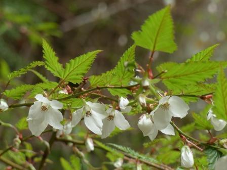 ナガバモミジイチゴ 2