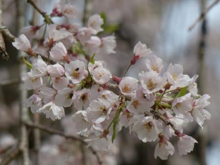西村大師堂のしだれ桜 5