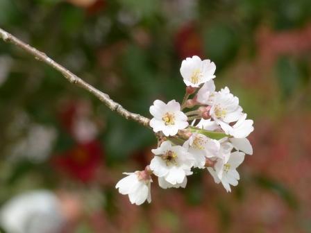 西村大師堂のしだれ桜 6