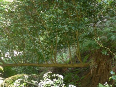 磐神神社 木々 2