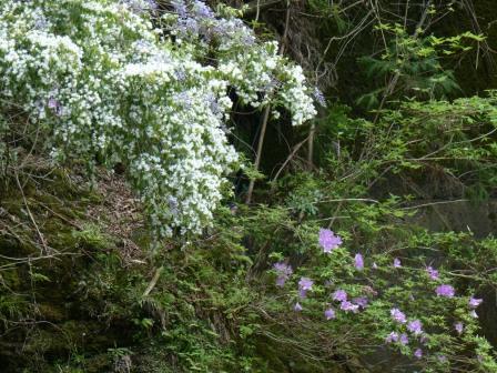 白い花 & キシツツジ