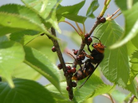 スズメバチ の仲間